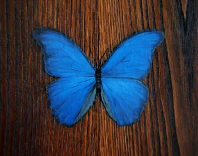 A detail of the Morpho didius butterfly