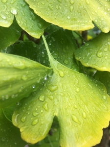 Ginkgo leaves in the rain