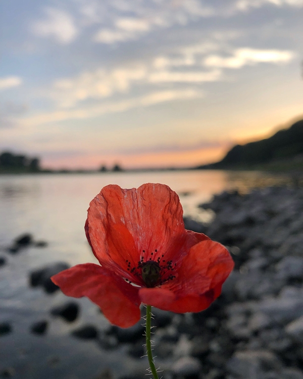 Picking poppies by the Elbe River
