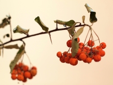 Berries and thorns